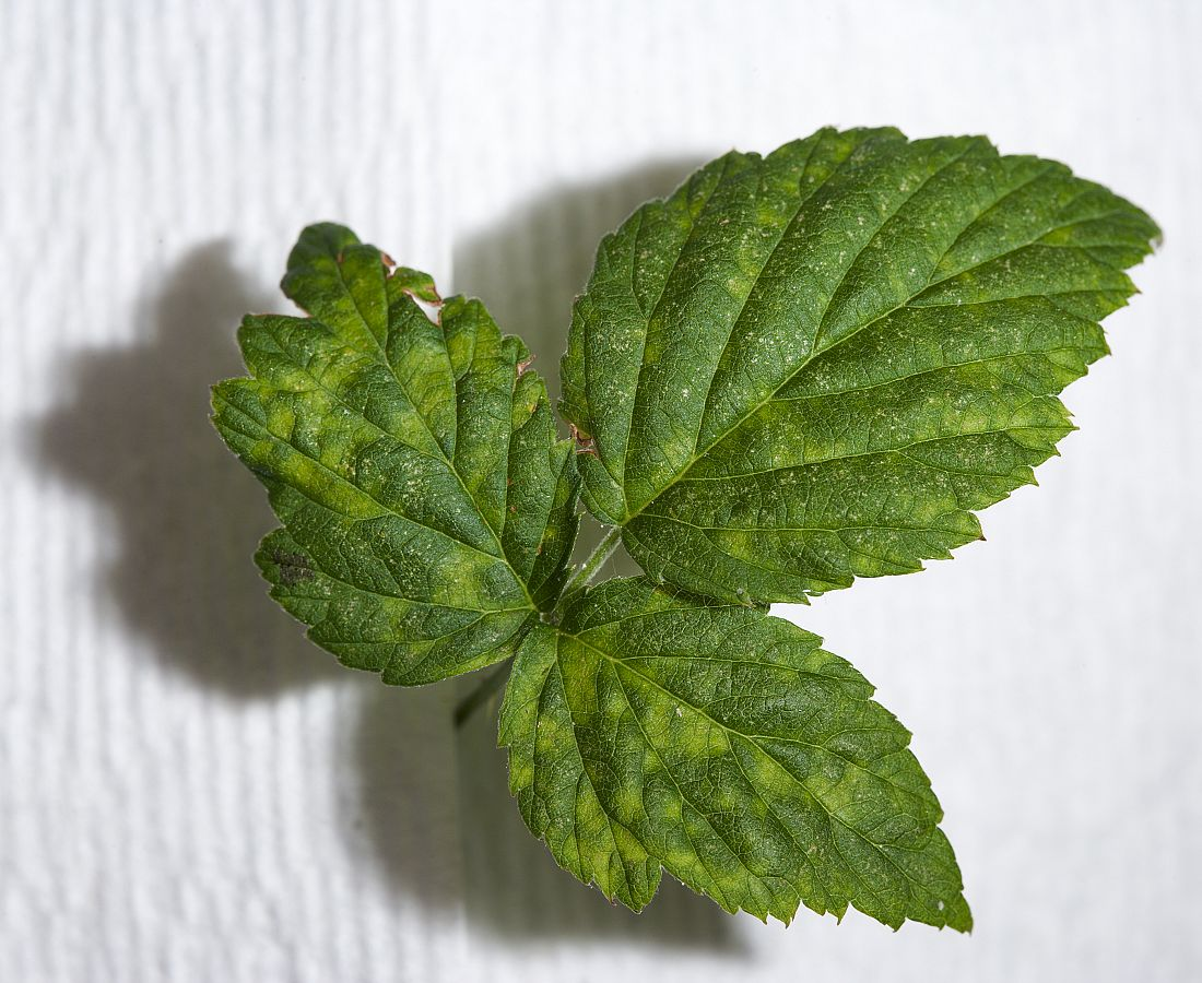Black raspberry leaf with symptoms of black raspberry necrosis virus.
